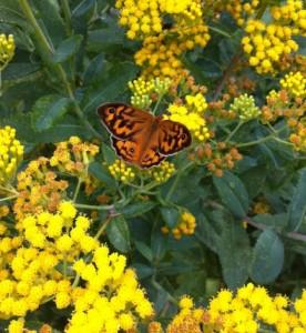 Common brown (male)butterfly feeding on nectar of Senecio odoratus