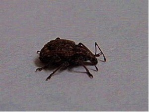Detail of a weevil showing the distinctive long proboscis