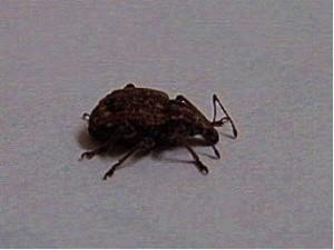 Detail of a weevil showing the distinctive long proboscis